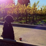 Sonoma Dog-friendly Wineries, Restaurants and other Places of Interest